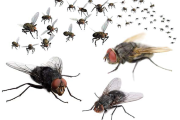 Home Remedies for Flies
