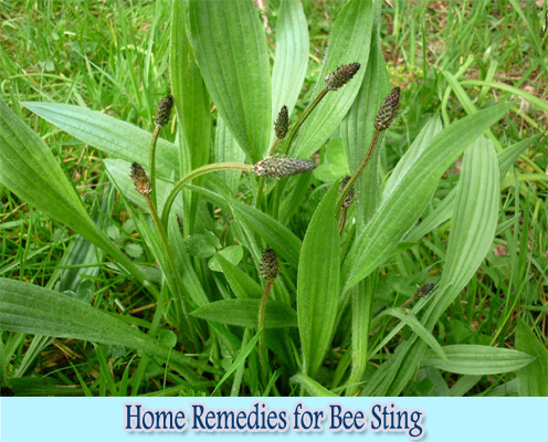 Plantain Leaf : Home Remedies for Bee Sting