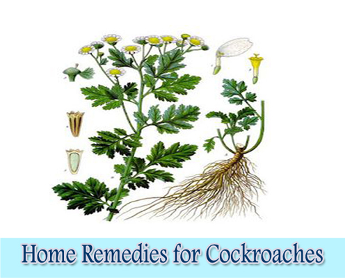 Catnip : Home Remedies for Cockroaches