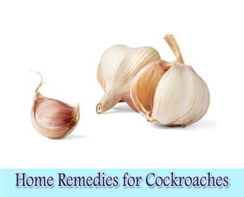 Garlic : Home Remedies for Cockroaches