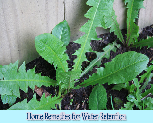 Dandelion : Home Remedies for Water Retention